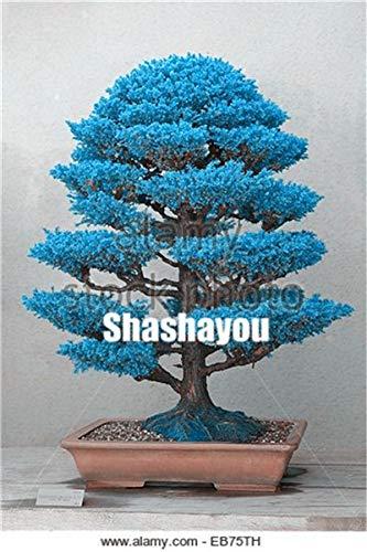 AGROBITS Semillas: 100 pcs Plantas Bonsai Cedro japonés jardín de ...
