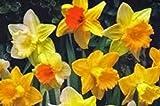 DAFFODIL, BULB (10 PACK), TRUMPET MIX, PERENNIAL DAFFODILS, BULBS, STUNNING BRIGHT FLOWERS