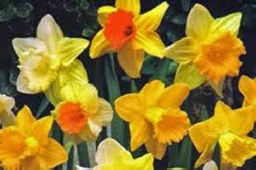 DAFFODIL, BULB (ONE), TRUMPET MIX, PERENNIAL DAFFODILS, BULBS, STUNNING BRIGHT FLOWERS