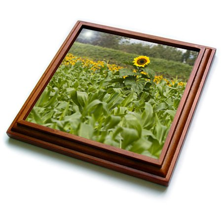 """3dRose trv_83537_1 Lone Sunflower Stands Taller Than All Around NA01 TDR0006 Trish Drury Trivet with Ceramic Tile, 8 by 8"""", Brown"""
