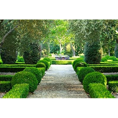 Japanese Boxwood Qty 60 Live Plants Buxus Fast Growing Cold Hardy Evergreen : Garden & Outdoor