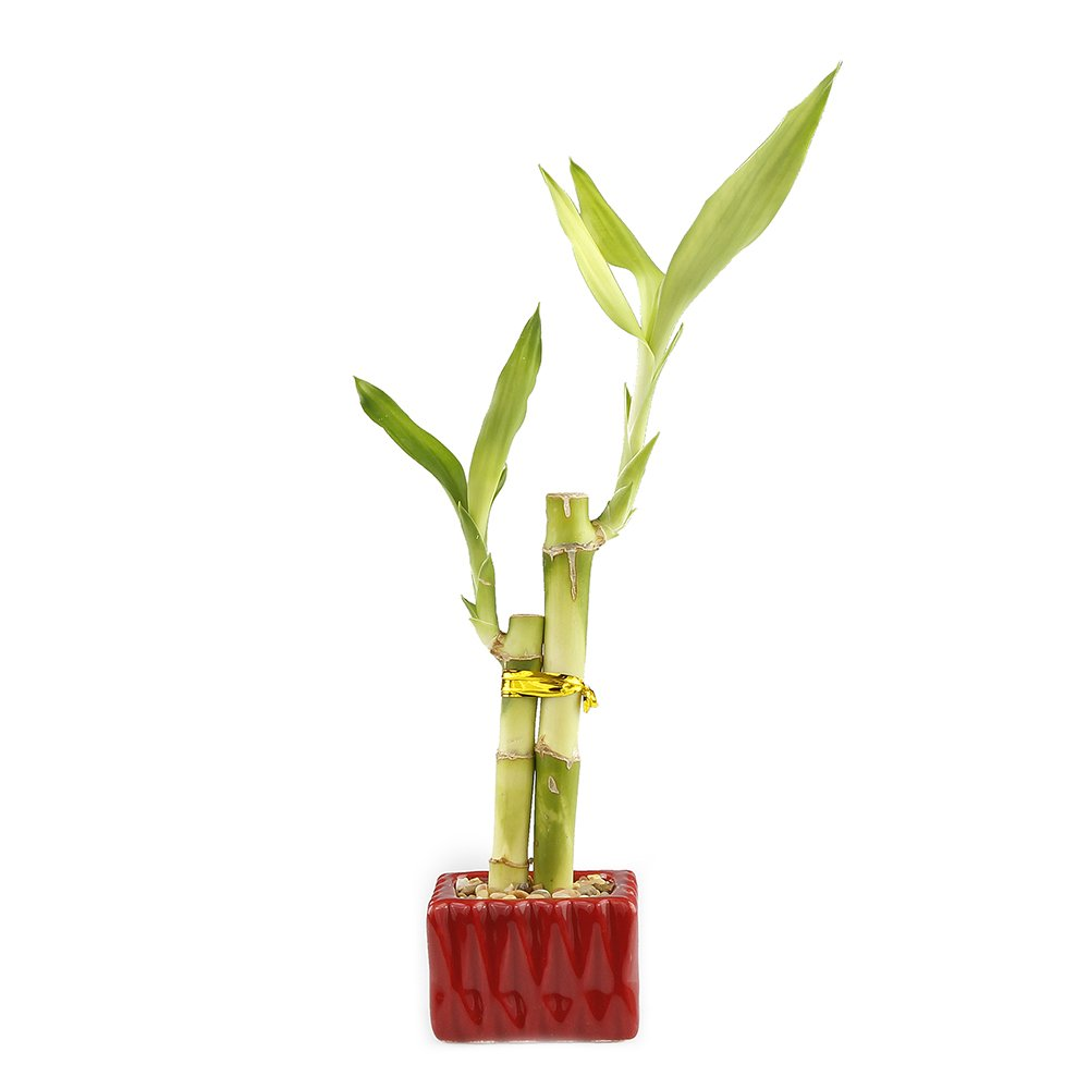 NW Wholesaler - Lucky Bamboo''Love'' Two Stalk Arrangement with Square Accented Pot (Single, Red)