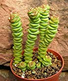 Crassula rupestris - kebab bush - concertina bush - 10 seeds