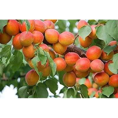 5 Apricot Tree Seeds (Golden Orange Fruit) : Garden & Outdoor