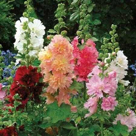 "30 20-24/"" TALL PERENNIAL QUEENY MIX HOLLYHOCK FLOWER SEEDS ALCEA ROSEA"