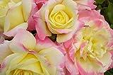 Music Box Easy Elegance Rose - Live Plant - Trade Gallon Pot