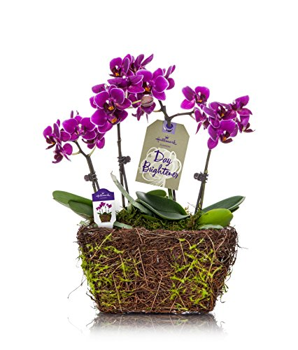 Orchid Flower Plant, Purple in 4-Inch Twig and Moss Container, From Hallmark Flowers