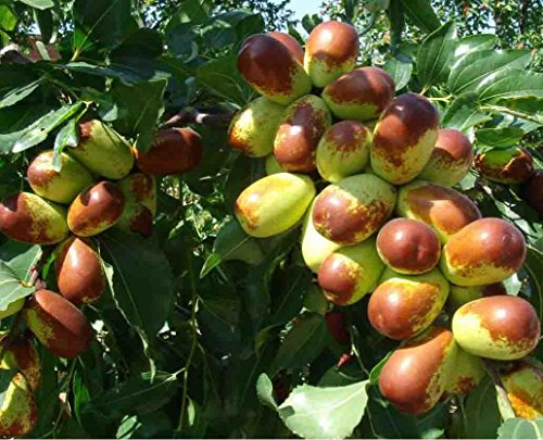 9EzTropical - Jujube LI Tree - 4 Feet Tall - Ship in 3 Gal Pot by 9EzTropical (Image #1)