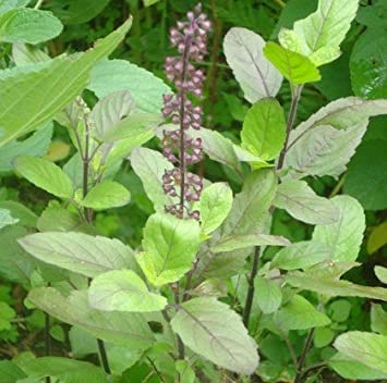 Image result for tulsi plant  pic,nari