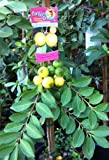 Yellow Lemon Guava Tree -- 12 by 12 Inch Container