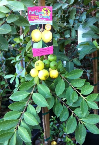 yellow-lemon-guava-tree-12-by-12-inch-container
