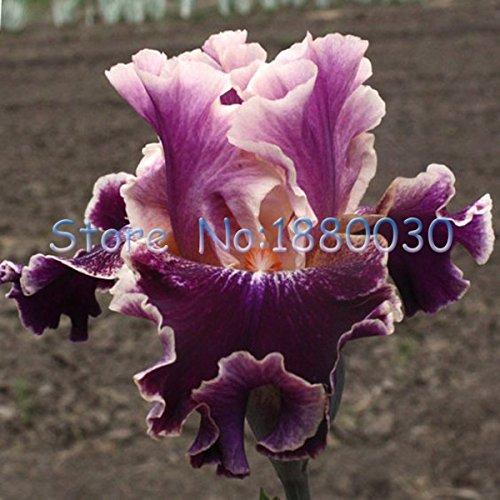 Japanese Iris (Seeds Shopp 50PCS unique dark purple Japanese iris + water brown orchid flowers Seeds & DIY home garden easy to survive Loss Promotion!)