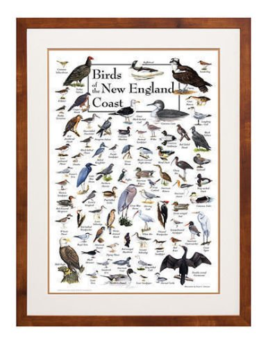 Poster - Birds of the New England Coast