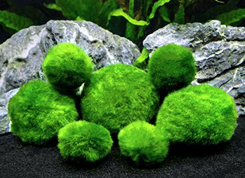 6 Marimo Moss Ball Variety Pack - 4 Different Sizes of Premium Quality Marimo from Giant 2.5 Inch to Small 1 Inch - World's Easiest Live Aquarium Plant - Sustainably (Glass Gift Card)