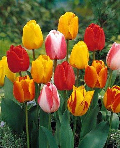 (Darwin Hybrid Tulip 25 Bulbs: Tequila Sunrise Mix - 12/+ cm Bulbs)