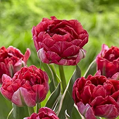 20 Eternal Flame Tulip Bulbs-- Double Late, New!!