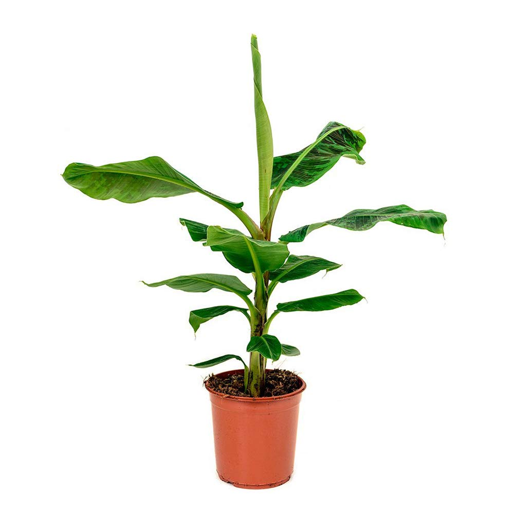 AMERICAN PLANT EXCHANGE Super Dwarf Cavendish Banana Indoor/Outdoor Live, 1 Gallon, Fruit Producing!