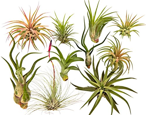 (10 Air Plant Tillandsia Variety Pack by Bliss Gardens/Live House Plants for Terrariums & Home Decor)