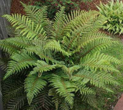 Classy Groundcovers - Osmunda cinnamomea O. bipinnata, O. imbricata, Osmundastrum cinnamomeum, Anemia bipinnata {25 Bare Root Plants}