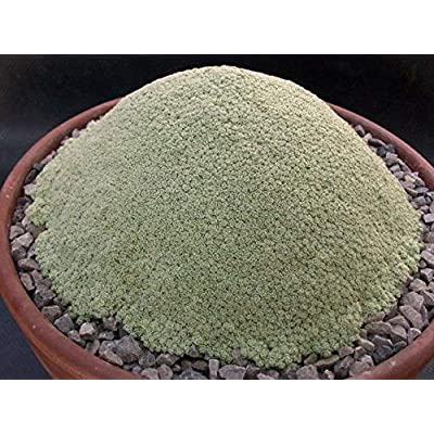 AchmadAnam - Seeds - 100pcs Dionysia tapetodes. One of The Weirdest Succulents Around ! Succulent Lithops Seeds Rare Perennial Herb Plant. E13 : Garden & Outdoor