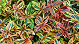 (3 Gallon) ABELIA Kaleidoscope, Astounding, Dwarf, Foliage has Remarkable kaleidosope of Colors, Compact Evergreen with Very Impressive Burgandy to Green Leaves