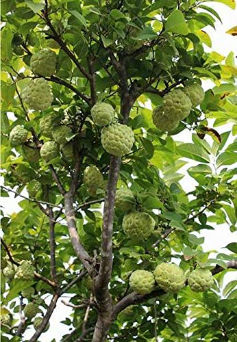 Sugar Apple Tree Live - Sweetsop - Annona Plant Starter