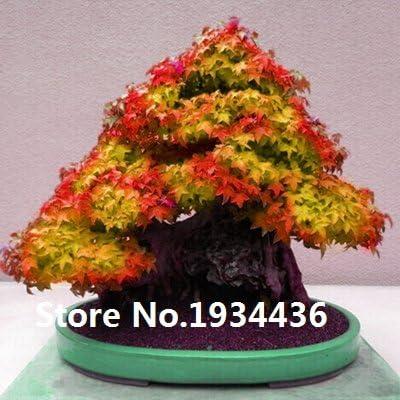 Plantas 10kinds las semillas de arce Bonsai árbol en maceta jardín japonés semillas de arce 10 pedazos / porción: Amazon.es: Jardín