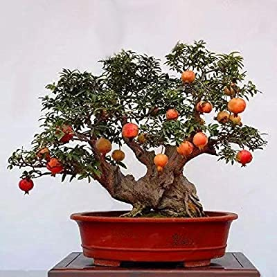 30Pcs/Pack Pomegranate Seeds Sweet Delicious Indoor Fruit Seeds Pomegranate Mini Bonsai Tree : Garden & Outdoor