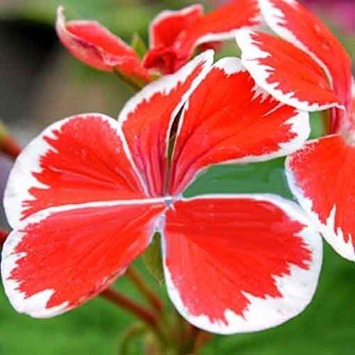 20 semillas / pack colgantes Semillas Bonsai geranio por casera de las semillas decoración del jardín de la flor del geranio Naranja: Amazon.es: Jardín