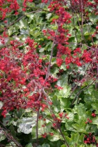 (Heuchera Ruby Bells Red Flowers Sweet Coral Bells 2 Inch Pot 1 Live Potted Plant Og003)
