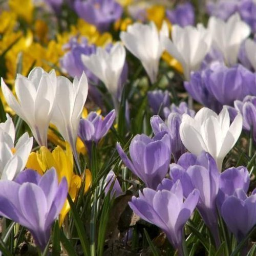 Crocus Species Mixed 45 Top Quality Bulbs - Pre Order and Save by The Wolds Collection