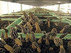 Morel Mushroom Spores