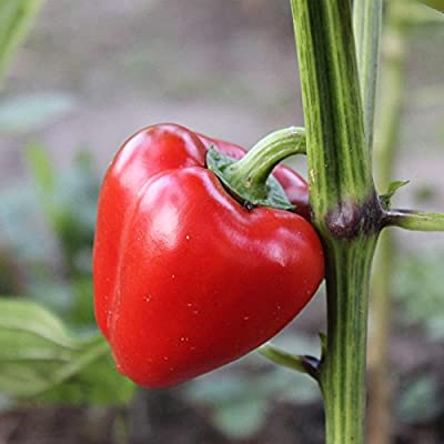 Pimento L - Sweet Pepper Garden Seeds - Non-GMO, Heirloom - Heart-shaped Red Bell Peppers- Vegetable Gardening Seed by Mountain Valley Seed