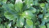 Pachysandra Terminalis 'Green Sheen' Groundcover - 300 Bare Root Plants