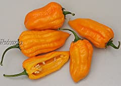"""This listing is for 25+ Premium Very Rare West Indies Bonda Ma Jacques Habanero Hot Pepper Seeds C chinense - 90 days - 3"""" tall plants Aromatic elongated Habanero chilli pepper from the Lesser Antilles"""
