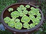 Water Lettuce - Floating Live Pond Plants