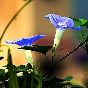 Amazon com : 50Pcs Picotee Blue Morning Glory Seeds Rare Petunia