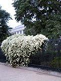 Sweet Autumn Clematis Vine - Clematis paniculata