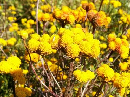 250 Yellow GOLDEN AGERATUM Lonas Inodora Flower Seeds