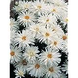Leucanthemum (Shasta Daisy) maximum Crazy Daisy 500 seeds
