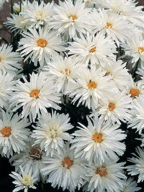 Leucanthemum (Shasta Daisy) maximum Crazy Daisy 500 seeds Hazzard's Seeds