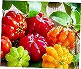 ELLA Plant Surinam Cherry Eugenia uniflora Live Plant Pitanga Brazilian Tropical Fruit Tree - EB154