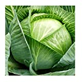 Cabbage White Kharkov Winter Original Seeds Vegetables Organic from Ukraine 1 Gram