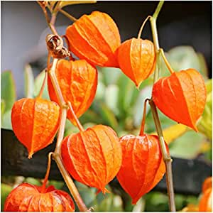 Package of 200 Seeds, Chinese Lantern (Physalis alkekengi) Non-GMO Seeds By Seed Needs