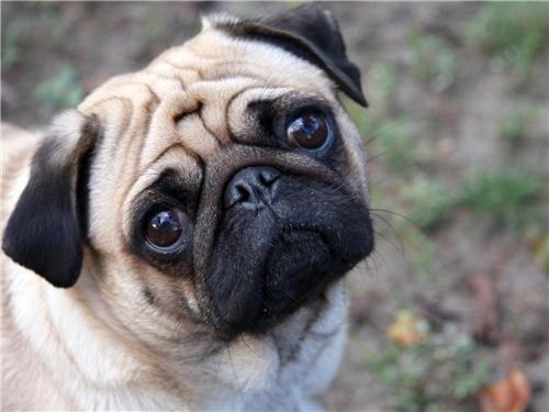Cute Pug Glossy Poster Picture Photo dogs puppy puppies beautiful decor wall