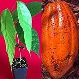 Mini Garden TRINITARIO Theobroma Cacao Cocoa Chocolate Fruit Tree Potted Plant RED Medium