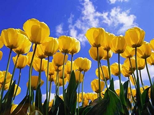 8 Yellow Fancy Tulip Bulbs Perenial Bulbs Fresh Flowers for Garden Planting