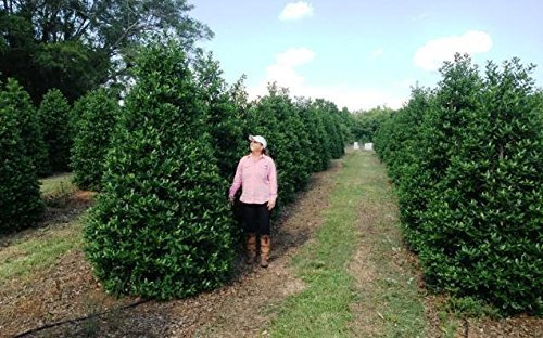 Nellie R. Stevens Holly - 20 Live Plants - Evergreen Privacy Trees by Florida Foliage (Image #4)