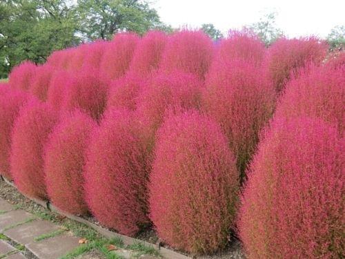 250 Seeds Exotic Pink Ornamental Easy Grow Kochia Scoparia Burning Bush