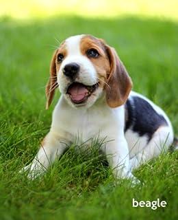Beagle Dog Breed Price In India